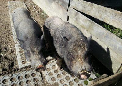 tier-asyl-huebeli-schweine