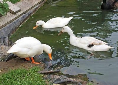 Ducky, Prima und Vera