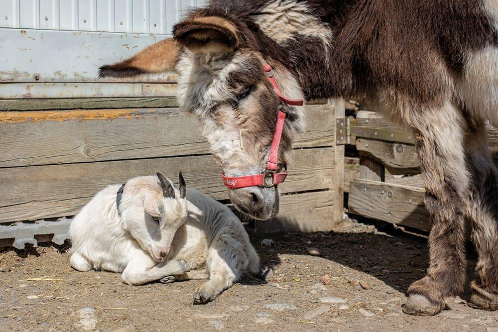 Tier-Asyl Hübeli Henry mit Eselin Cindy