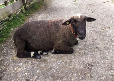 Schaf Brasil im Tier-Asyl Hübeli
